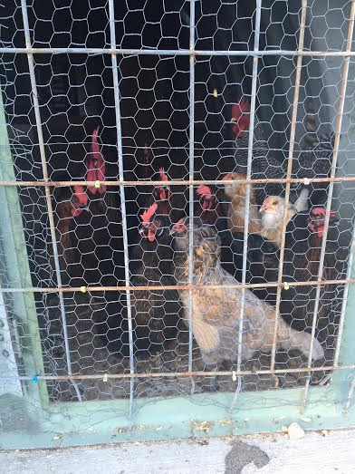Steve VanNiewenhuyse likes talking to these chickens after each practice. He relates to and identifies with their legs.